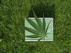Cannabis in a bed of grass